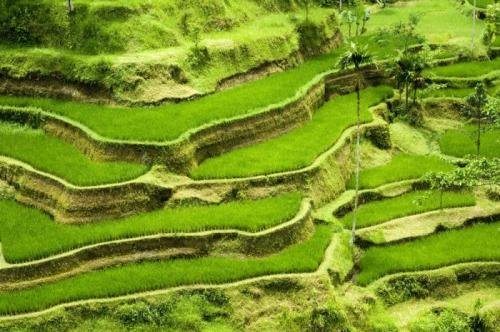 Paddy field Indonesia