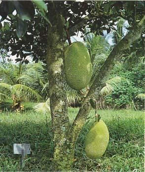 jackfruit-tree